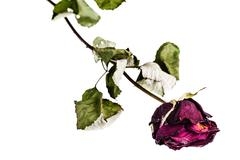 Faded rose on white Stock Photos