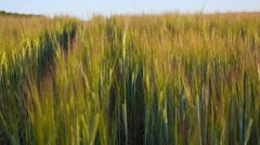 Harvest. Wheat Field at Sunset. Gold Ears under Sunbeams. Stock Footage