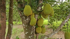 Closeup Jackfruits on Tree Branches in Garden Stock Footage