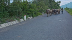Shepherd Drives Herd of Buffaloes along Road against Countryscape Stock Footage