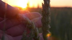 Beautiful Sunset at Green Field and Hand with Wheat Ear Stock Footage
