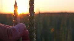 Young Wheat Ear in Hand at Sunset Stock Footage