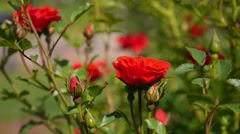 Red Roses in Green Garden Stock Footage