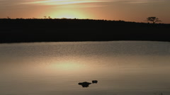 Hippos at sunrise Stock Footage