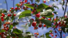 Bright Red Cherries on a Cherry Tree in Sunny Day. Stock Footage