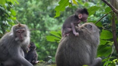 Cute Baby Monkey with Mother in Jungle Forest Stock Footage