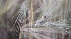 Ladybug on wheat at sunset Stock Footage