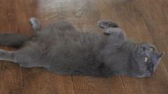British shorthair gray cat Stock Footage