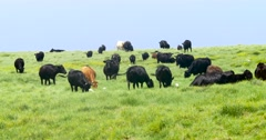 Cows grazing on a green meadow Stock Footage