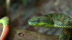 Philippine pitviper-Palawan- close-up Stock Footage