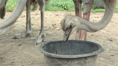 Ostriches on a farm drinking water Stock Footage