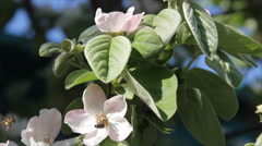 Bee on blossoming quince Stock Footage