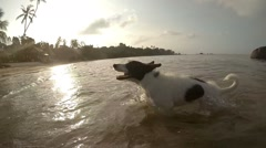Dog Running on Beach after Swimming in Sea. Slow Motion. Stock Footage