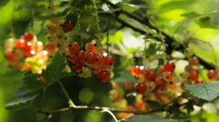 Branch of red currant Stock Footage