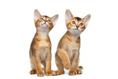 Two Little Abyssinian Kitty Sitting on Isolated White Background Stock Photos
