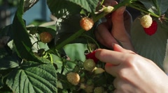 Lady's hand plucks berries. Stock Footage