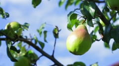 Green pear on tree branch. Stock Footage
