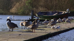 CANADA GEESE GULLS ON PIER SCARBOROUGH MERE Stock Footage