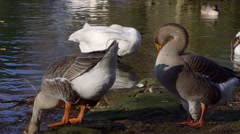 GREYLAG GEESE SWAN PLUMING SCARBOROUGH MERE Stock Footage