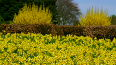 LARGE GROUP OF DAFFODIL'S BAINTON NORTH YORKSHIRE Stock Footage
