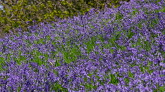 COMMON BLUEBELL FLOWERS IN NEWTON WOOD GREAT AYTON Stock Footage