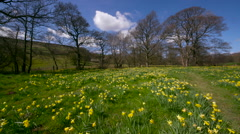 DAFFODIL'S IN MEDOW FARNDALE NORTH YORKSHIRE Stock Footage