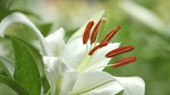 White lily in rain, Tokorozawa in Japan Stock Footage