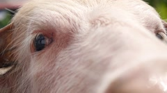 Pink Bull Eyes Closeup Stock Footage