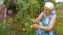 Elderly woman collects pears in the garden. Stock Footage