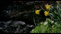 DAFFODIL'S ON THE RIVER DOVE FARNDALE NORTH Stock Footage