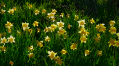 DAFFODIL'S ON RIVERBANK FARNDALE NORTH YORKSHIRE Stock Footage
