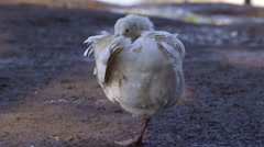 SCRUFFY SLEEPING GOOSE SCARBOROUGH MERE WEAPONNESS Stock Footage