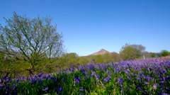 BLUEBELLS ROSEBERRY TOPPING NEWTON WOOD GREAT Stock Footage