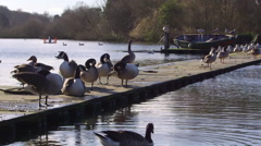 CANADA GEESE GRAYLAG GEESE SCARBOROUGH MERE Stock Footage