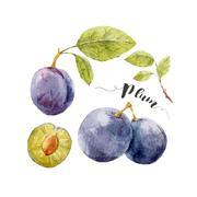 Watercolor hand drawn plum Stock Illustration