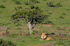 A Kalahari lion, Panthera leo, in the Addo Elephant National Park Stock Photos