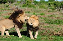 Two Kalahari lions playing in the Addo Elephant National Park Stock Photos