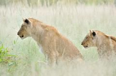 Lion cubs in the Kalahari Stock Photos