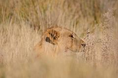 Lion, Panthera leo, in the Etosha National Park Stock Photos