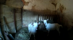 Two white goatling in the old village barn. Ukraine, Podillya, Khmelnytskyi Stock Footage