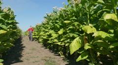 Farmer examine tobacco field Stock Footage