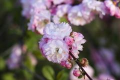 Fluffy pink flowers on the branches of cherry blossoms Stock Photos