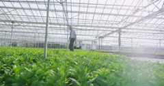 4K Workers in agricultural or science industry checking the plants in greenhouse Stock Footage