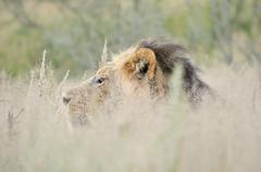 Male lion in the Kalahari 2 Stock Photos