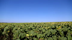 A new generation of highly productive sunflower hybrids. Field of sunflowers. Stock Footage
