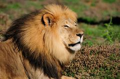 A Kalahari lion, Panthera leo, in the Addo Elephant National Park Stock Photos