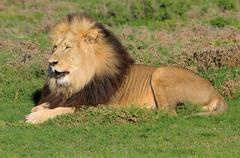 Kalahari lion, Panthera leo, in the Addo Elephant National Park Stock Photos