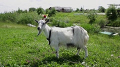 Funny Goat with a wreath on his head grazes in a field chewing on grass Stock Footage