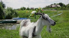 Funny Goat with a wreath in the horns grazing in the field, chews grass Stock Footage