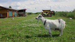Funny Goat with a wreath in the horns chews grass, looks in the frame. Stock Footage